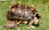 Tortoise kit for Tropical Tortoises, Red, Yellow foots etc - FREE POST